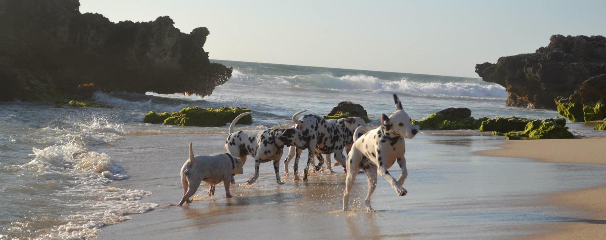 Perth Dalmatians