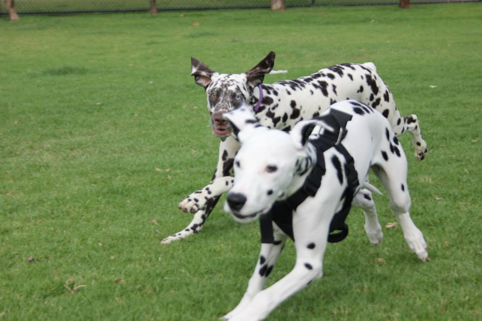 2 Dalmatians playing